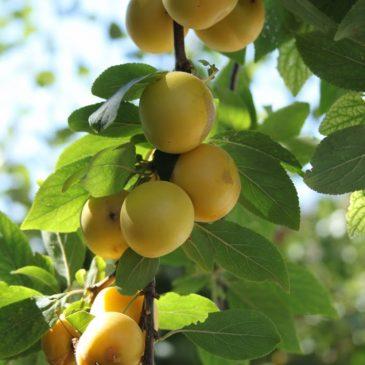 Džem od žutih šljiva