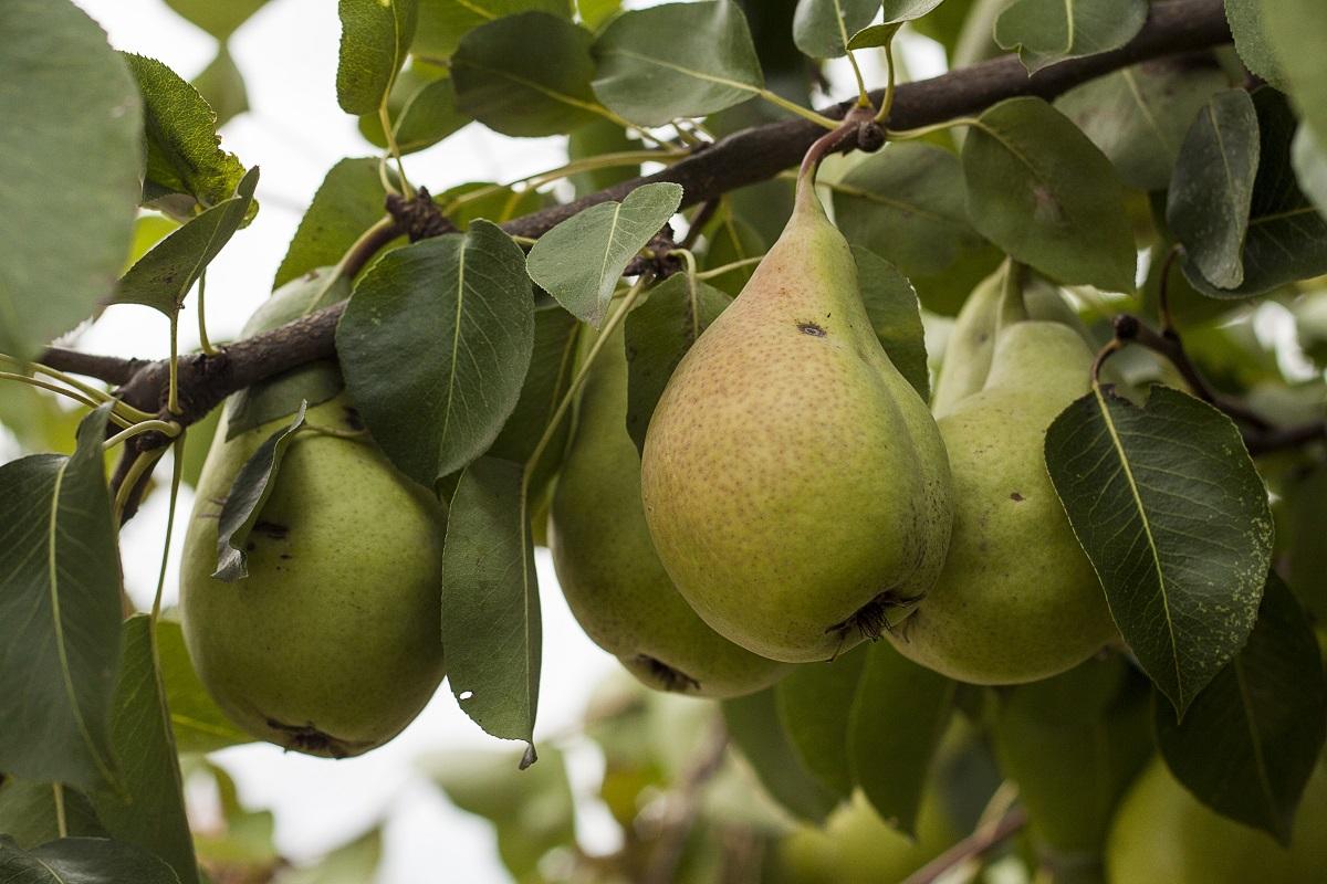 Kruške u voćnjaku, na drvetu